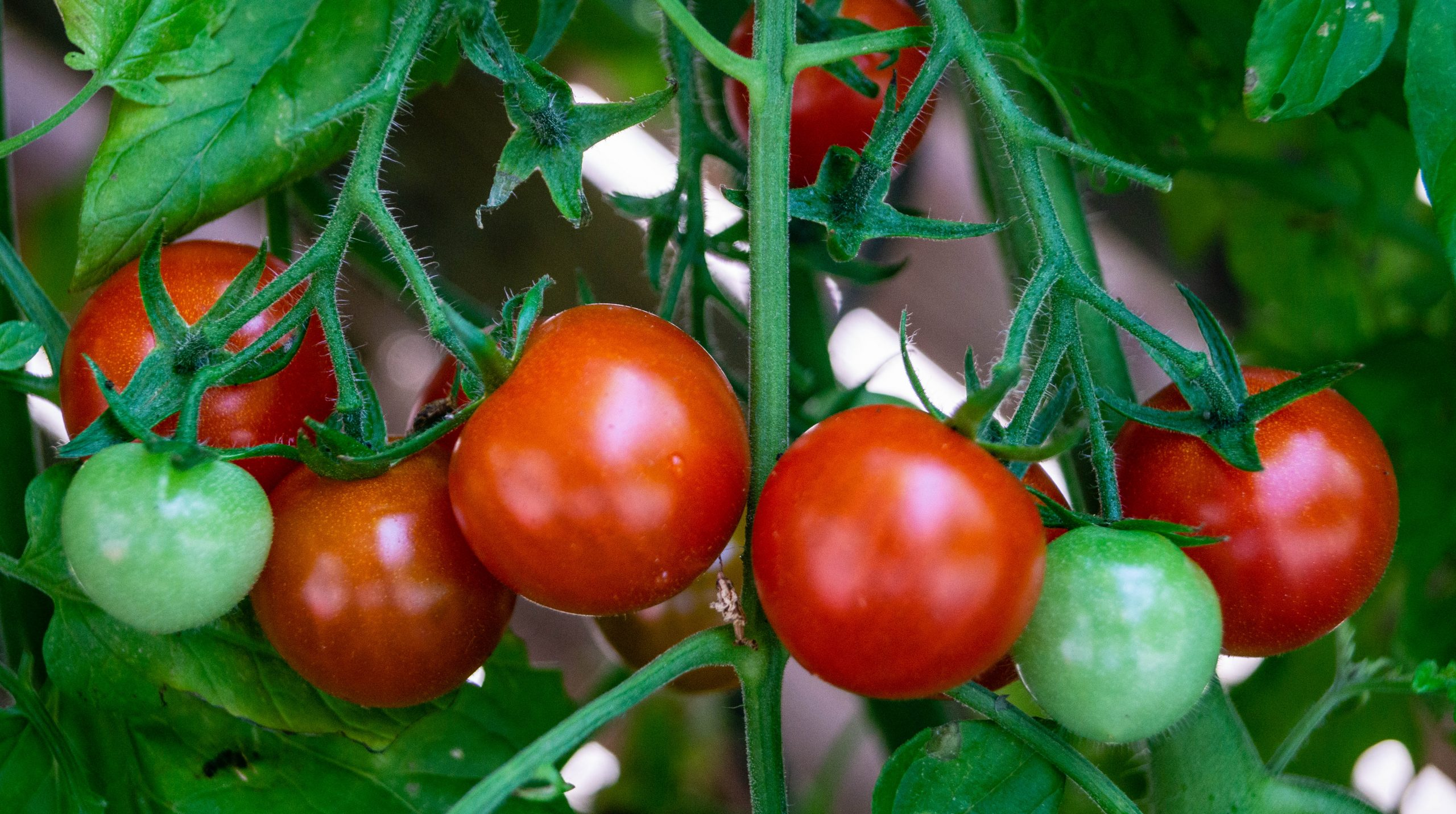 Red and green tomatoes are shown growing on a green vine